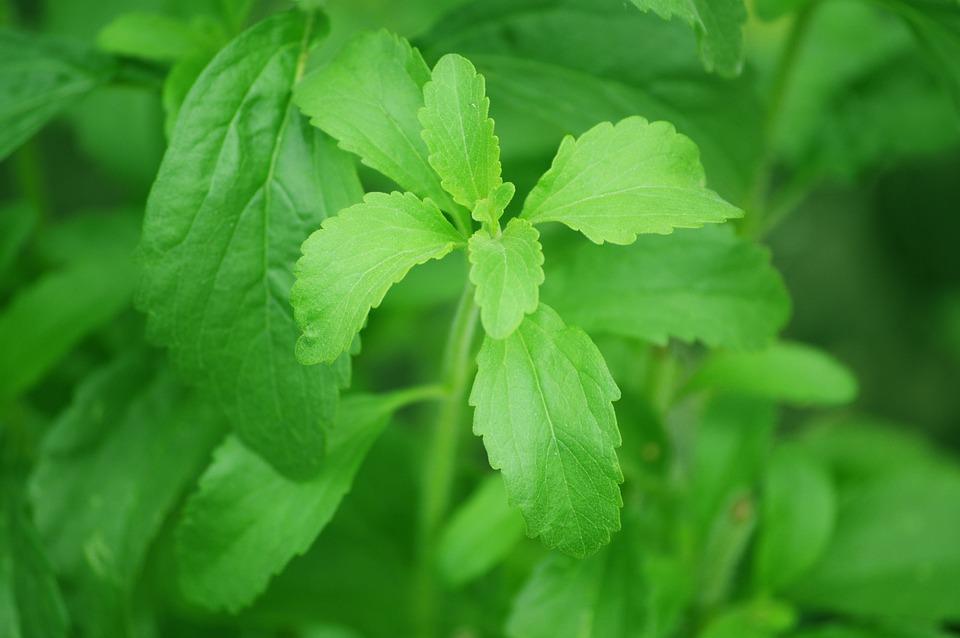 rostlina stevie